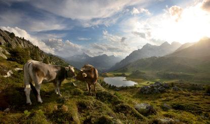 Initiative pour les vaches à cornes