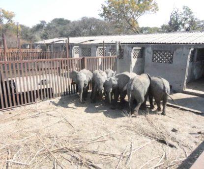 Tráfico de elefantes bebé
