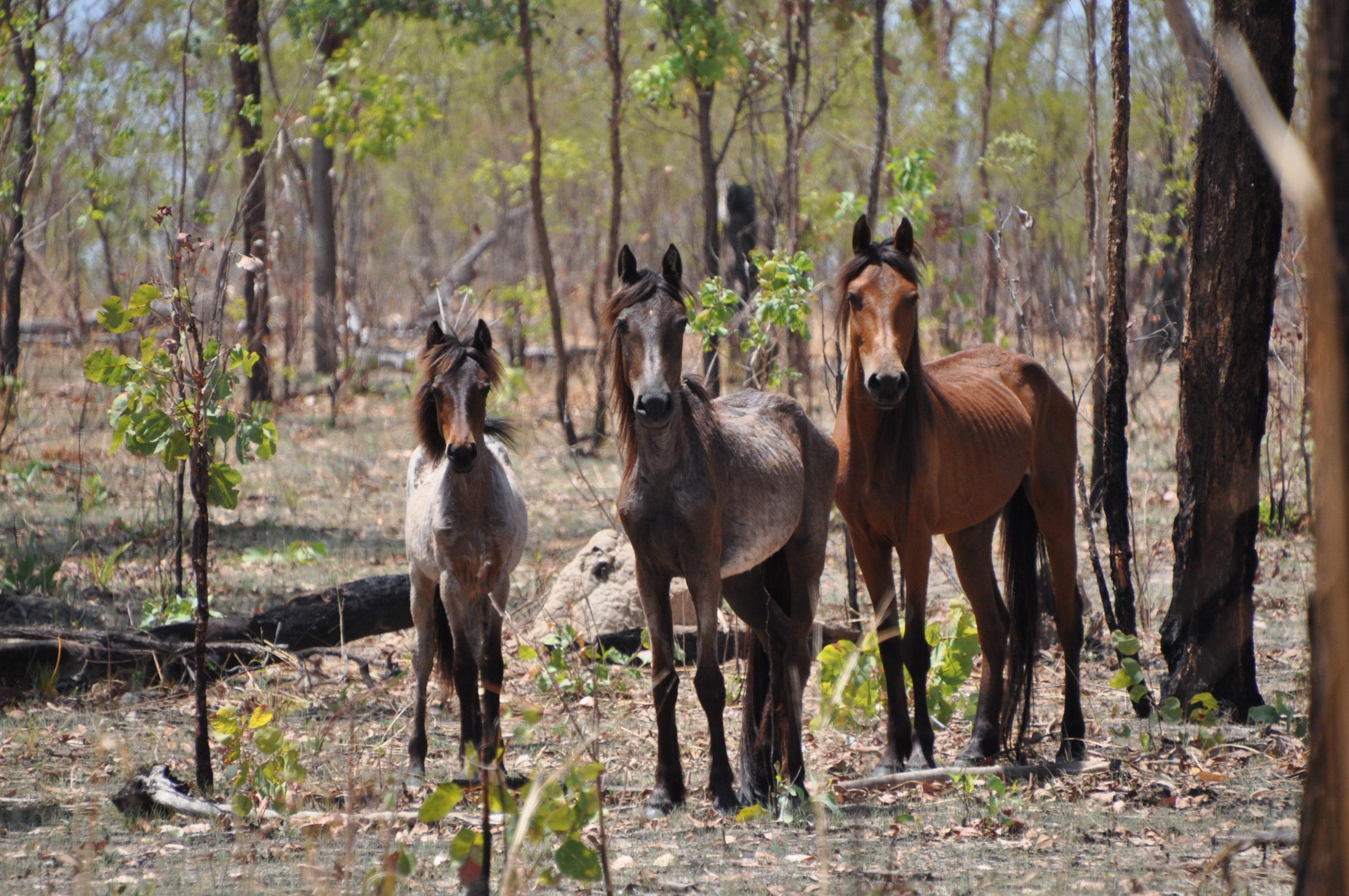 Franz Weber Territory - Réserve de chevaux sauvages en Australie