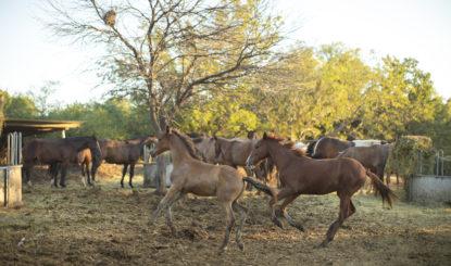 Les chevaux sauvés de Salta trouvent leur bonheur à Equidad