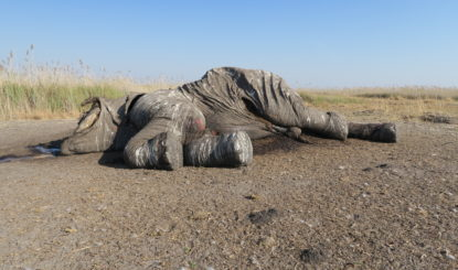 Research shows rampant poaching of African elephants is NOT declining