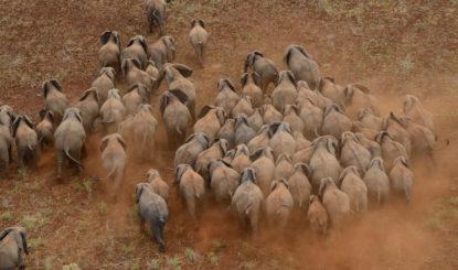 La Convention CITES sur le commerce des espèces menacées a 44 ans – Où en est la protection des éléphants?