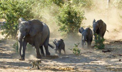 Communiqué aux médias: Les éléphants vivants ne quitteront plus l'Afrique – sauf en cas d'urgence