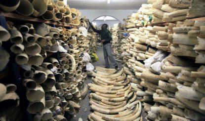 Communiqué aux médias: Les propositions de la Coalition pour l'Eléphant d'Afrique font avancer la protection de l'Eléphant