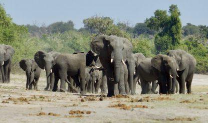 Medienmitteilung: CITES-CoP18 verpasst die Chance, die Elefanten nachhaltig zu schützen: Hauptschuldig ist die EU