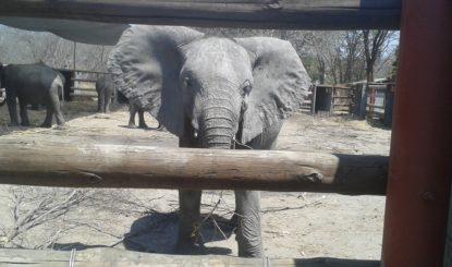 Historische Entscheide der CITES verhindern den Export von mehr als 30 Elefantenbabys in Simbabwe