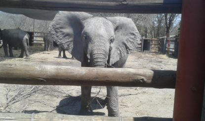 Trotz Exportverbot wurden junge Elefanten qualvoll nach China exportiert – Ein Skandal!