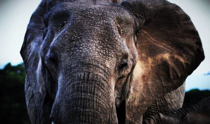 Open the international ivory trade…or else!