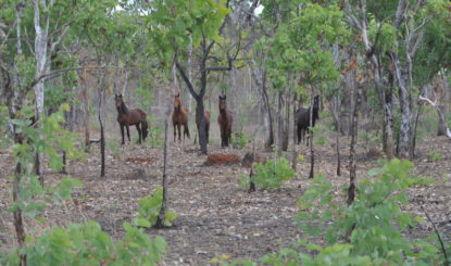 In the Paradise of the Brumbies