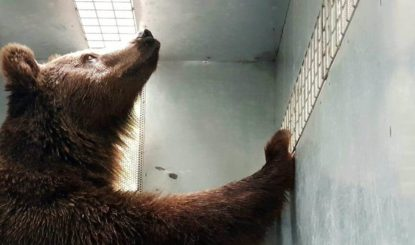 Ten brown bears  saved from former zoo and re-homed in a sanctuary