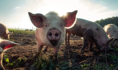 Communiqué aux médias: Le Conseil fédéral met en consultation un faible contre-projet direct à l'initiative populaire contre l'élevage intensif