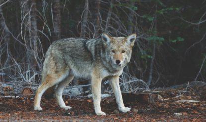 La votation sur la révision de la Loi sur la chasse n'aura pas lieu le 17 mai