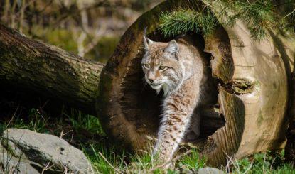 Le lynx boréal : un gros petit félin en danger