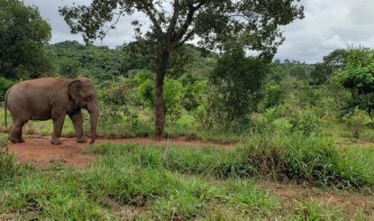 News from Brazil: Mara now lives together with the other elephants!