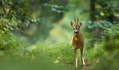 Medienmitteilung: Rehe auf dem Friedhof Hörnli - Die FFW fordert Wildtiermanagement und sofortigen Stopp der Abschusspläne