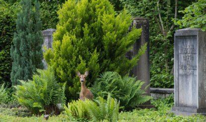 Medienmitteilung: Erster Etappensieg für die Rehe auf dem Friedhof am Hörnli