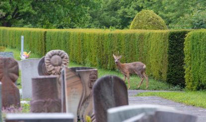 Medienmitteilung: Zweiter Etappensieg für die Rehe auf dem Friedhof am Hörnli