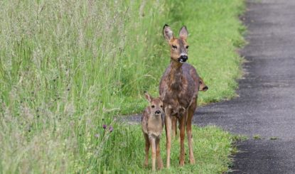 Medienmitteilung: Die Rehe auf dem Hörnli-Friedhof sind bis am 19. August sicher