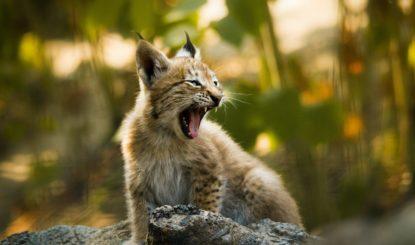 Non à la loi sur la chasse: une chance pour les espèces protégées en Suisse!