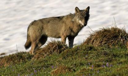 Wolf: Abschuss ohne tatsächlich verursachte Schäden?