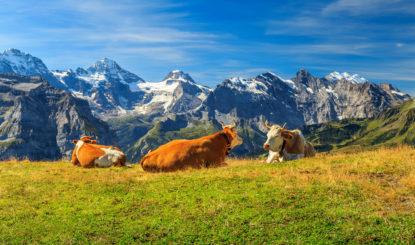Kalben auf der Alp: So erzeugen Bündner Bauern die Angst vor dem Wolf