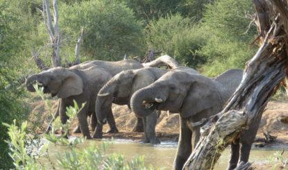 La FFW au secours d'un troupeau d'éléphants