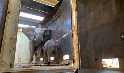 Die Fondation Franz Weber rettet eine kleine Elefantenherde in Südafrika