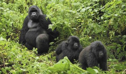 Les gorilles menacés par un projet de téléphérique