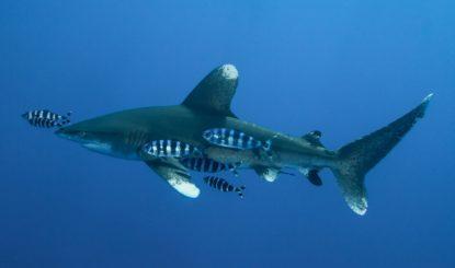 Communiqué aux médias : Le projet d'aquarium géant « Shark City » a finalement échoué !