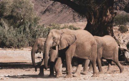 Communiqué aux mèdias : Exportations d'éléphants de Namibie - Le silence de l'UE