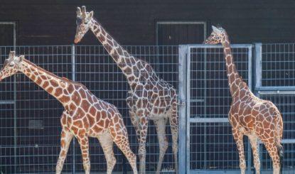 Medienmitteilung: Giraffenbulle «Hanck» vom Stuttgarter Zoo stirbt während  Narkose – Was waren die Gründe für die Operation?