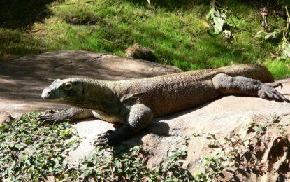 Communiqué aux médias: Aquatis euthanasie un dragon de Komodo menacé d'extinction - Son remplacement est déjà prévu